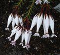 Erica shannonii flower.JPG