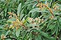 Eriobotrya japonica - Loquat.jpg