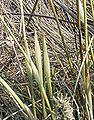 Eriophorum vaginatum Blattscheiden1.jpg