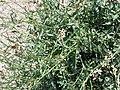 Eruca vesicaria. Big Bend National Park, Hwy 1776. March 2004 (49A15BEC92014D7D8D7C401B4C201BB5).JPG