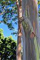 Eucalyptus Deglupta Tree. Dole Plantation, Plantation Rd, Wahiawa - panoramio (3).jpg