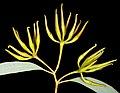 Eucalyptus densa subsp. densa - Flickr - Kevin Thiele (1).jpg