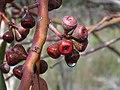 Eucalyptus haemastoma IMG 2409 (1391074461).jpg