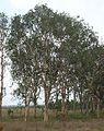 Eucalyptus platyphylla.jpg