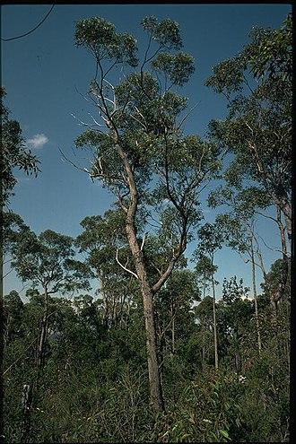 Eucalyptus sparsifolia - Habit of Eucalyptus sparsifolia