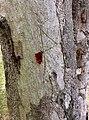 Eucalyptus tereticornis - trunk bark.jpg