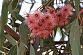 Eucalyptus tree (29319486858).jpg