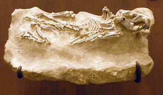 Castoridae - Euhapsis barbouri fossil