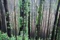 Eukalyptus-Wald auf Madeira im Dezember 2016.jpg