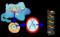 Eukaryote DNA-ar.png