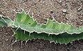 Euphorbia grandicornis 01.jpg