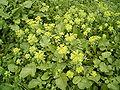 Euphorbia helioscopia (Barlovento) 02.jpg