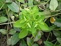 Euphorbia helioscopia 0.3 R.jpg