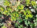Euphorbia helioscopia sl5.jpg