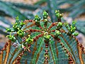 Euphorbia obesa 002.JPG