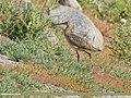 Eurasian Curlew (Numenius arquata) - 48828069313.jpg