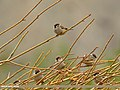 Eurasian Tree Sparrow (Passer montanus) (28392319950).jpg