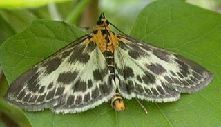 Pyraustinae Subfamily of moths