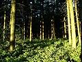 Evening, Sherwood Pines - geograph.org.uk - 198347.jpg