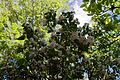 Exochorda at Newgate Street Hatfield Hertfordshire England - backlit.jpg
