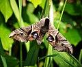 Eyed Hawk-moth (42168878742).jpg