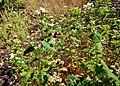 Fagopyrum esculentum Prague 2013 1.jpg