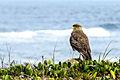 Falcão vigiando a costa em busca de comida.jpg