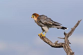 Indus Valley Desert - Red-necked falcon, one the bird species found in Indus Valley Desert.