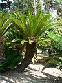 Fale - Giardini Botanici Hanbury in Ventimiglia - 629.jpg
