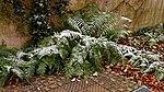 Farn im Schnee 05.jpg