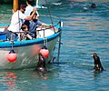 Feeding a Grey Seal in Newquay.jpg