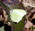 Female Brimstone. Gonepteryx rhamni - Flickr - gailhampshire (1).jpg