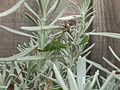 Female speckled bush-cricket (Leptophyes punctatissima) eating lavender, Sandy, Bedfordshire (6161746435).jpg