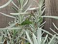 Female speckled bush-cricket (Leptophyes punctatissima) eating lavender, Sandy, Bedfordshire (6161746435).jpg