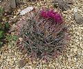 Ferocactus fordii 1.jpg