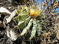 Ferocactus glaucescens (2).jpg