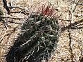 Ferocactus peninsulae ssp. townsendianus (5762294204).jpg