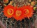 Ferocactus wislizeni338980330.jpg