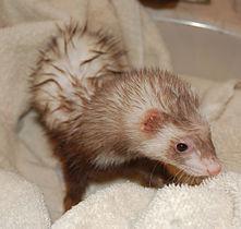 mustela putorius furo wikimedia commons