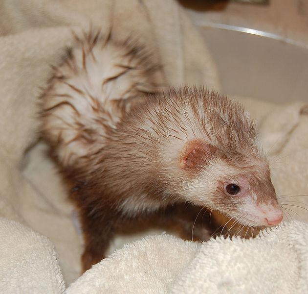 Ferret after shower