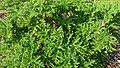 Feuilles de Pelargonium graveolens.jpg