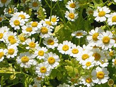 Feverfew is a traditional medicinal herb which is found in many old gardens.
