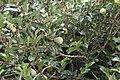 Ficus pumila 32zz.jpg