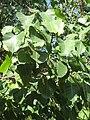 Ficus religiosa01.JPG