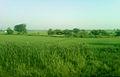 Fields near Pithapuram 02.jpg