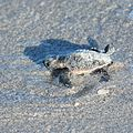 First steps of hatchling of loggerhead sea turtle (Caretta caretta) running to sea - 04.jpg