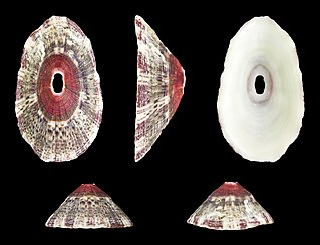 <i>Fissurella nubecula</i> Species of gastropod