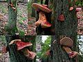 Fistulina hepatica (GB= Beefsteak polypore fungus or Ox Tongue, D= Leberreischling, or Ochsenzunge, F= Langue de bœuf, NL= Biefstukzwam), pinkish spores and causes brown rot at NP Hoge Veluwe - panoramio.jpg