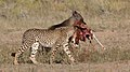 Five cheetahs were feeding on a Springbok kill one morning in the Kgalagadi. (33695258334).jpg