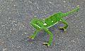 Flap-neck Chameleon (Chamaeleo dilepis) (5984343263).jpg